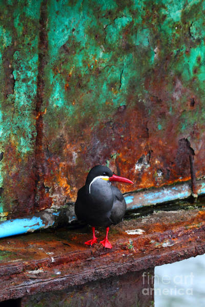 Photograph - Inca Tern On Pier by James Brunker