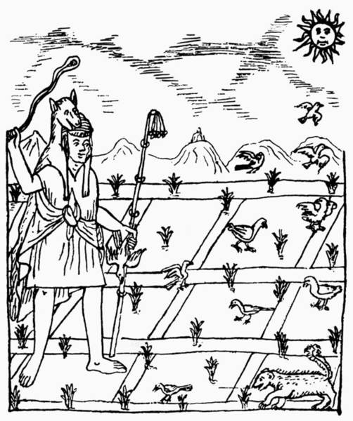 Indian Corn Drawing - Incan Agriculture by Granger