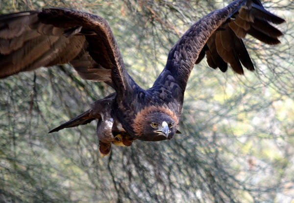 Golden Eagle Photograph - Incoming Golden 2 by Fraida Gutovich