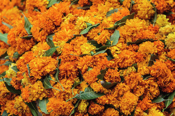 Asteraceae Wall Art - Photograph - India, Delhi, Heap Of Marigold Offerings by Alida Latham