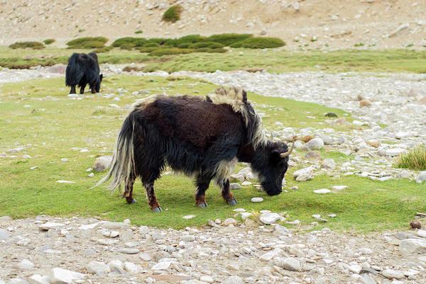 Bovine Photograph - India, Jammu & Kashmir, Ladakh Two by Ellen Clark