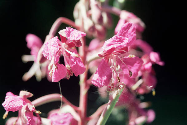 Wall Art - Photograph - Indian Balsam Flowers by W Broadhurst/science Photo Library