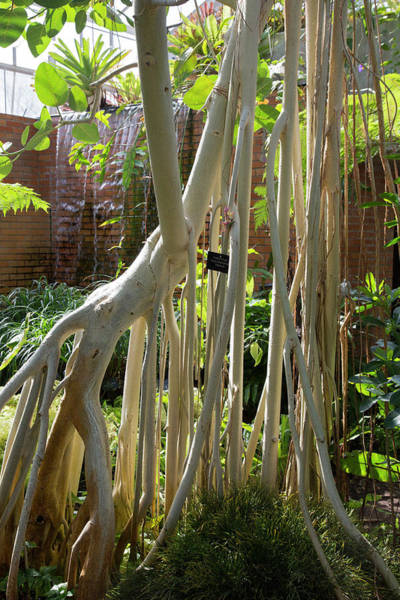 Indian Banyan Photograph - Indian Banyan Tree (ficus Benghalensis) by Jim West