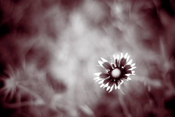 Photograph - Indian Blanket Flower by Darryl Dalton