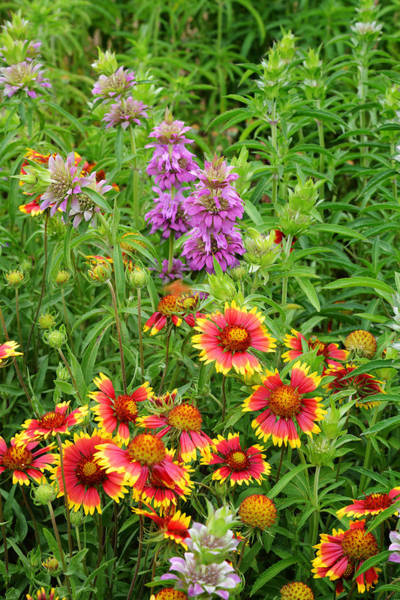 Photograph - Indian Blankets And Lemon Horsemint by Lynn Bauer