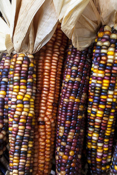 Row Crops Photograph - Indian Corn Close Up by Garry Gay