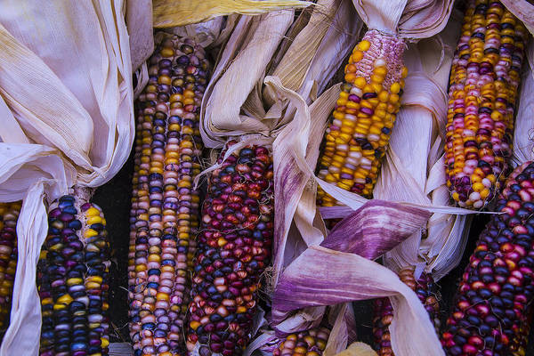 Indian Corn Photograph - Indian Corn Harvest by Garry Gay
