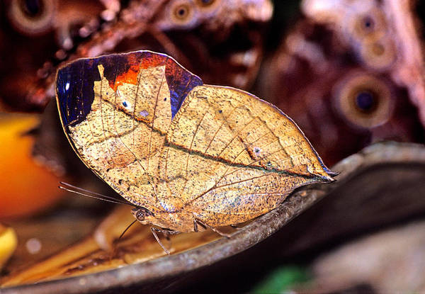 Photograph - Indian Leafwing Butterfly by James H Robinson