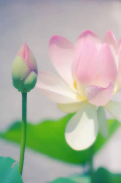 Indian Lotus Nelumbo Nucifera Photograph By Maria Mosolovascience