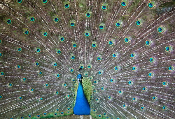 Courtship Photograph - Indian Or Blue Peacock by Unknown