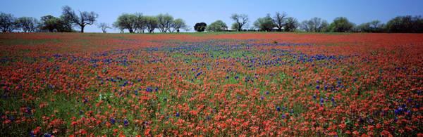 Texas Bluebonnet Photograph - Indian Paintbrush & Bluebonnets Tx by Panoramic Images