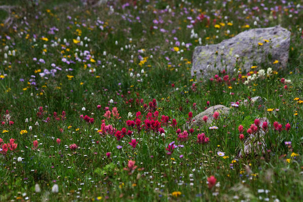 Indian Peaks Wilderness Photograph - Indian Paintbrush II by Ronda Kimbrow