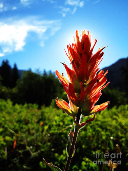 Art Print featuring the photograph Indian Paintbrush Sunrise by Kate Avery