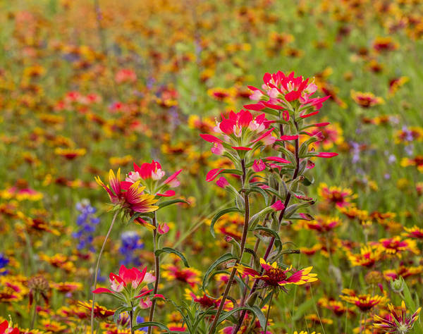 Photograph - Indian Paintbrushes And Blankets by Steven Schwartzman