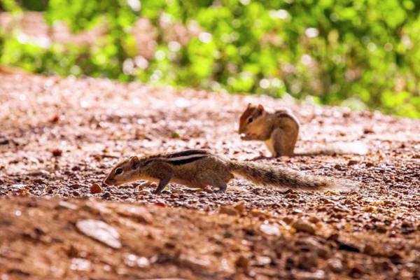 Scavengers Photograph - Indian Palm Squirrels Foraging by Paul Williams