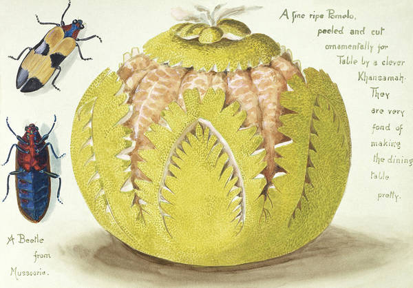Fanny Photograph - Indian Pomelo by Natural History Museum, London/science Photo Library