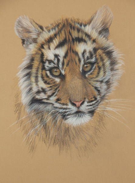 Bengal Tiger Drawing - Indian Princess by Clare Shaughnessy