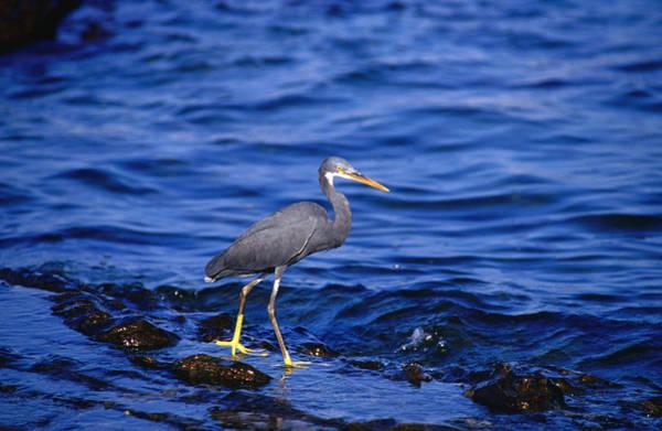 Goa Photograph - Indian Reef Heron, Goa by Hira Punjabi