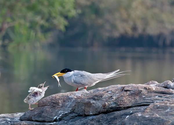 Animal Behaviour Photograph - Indian River Tern Feeding Chick by K Jayaram