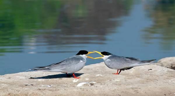 Animal Behaviour Photograph - Indian River Terns Greeting by K Jayaram