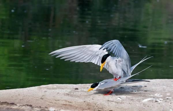 Behaviour Photograph - Indian River Terns Mating by K Jayaram