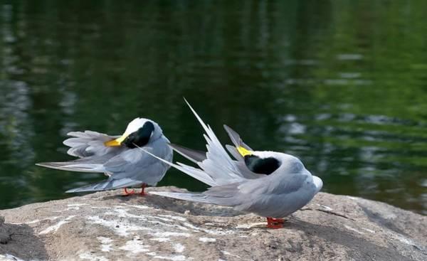 Behaviour Photograph - Indian River Terns Preening by K Jayaram