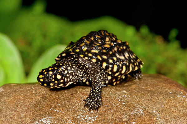 Turtle Photograph - Indian Spotted Pond Turtle, Geoclemys by David Northcott