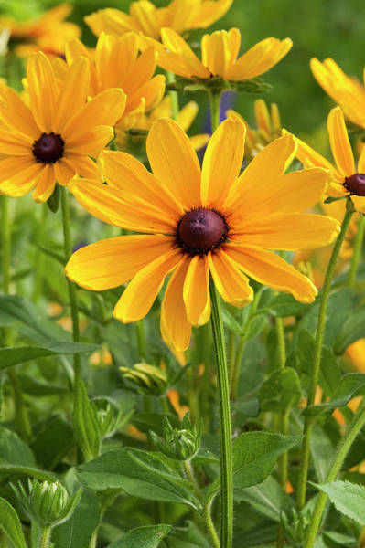 Susan Photograph - Indian Summer Black-eyed Susan by Richard and Susan Day