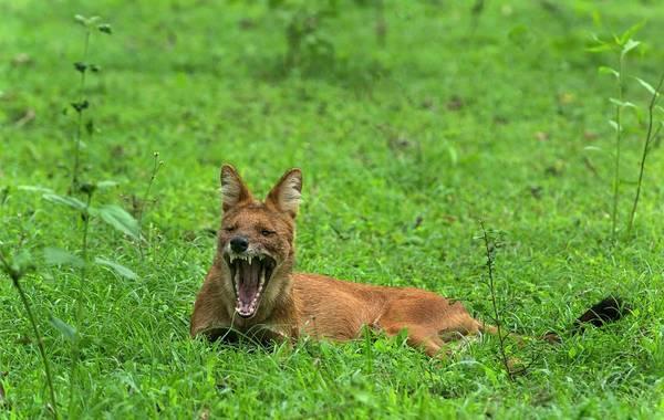 Red Wolf Photograph - Indian Wild Dog Yawning by K Jayaram/science Photo Library