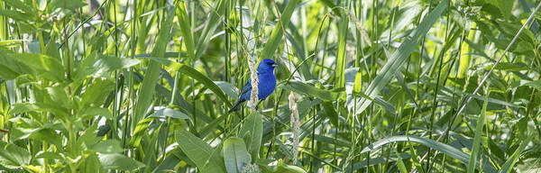 Wall Art - Photograph - Indigo Bunting In July by Linda Arndt