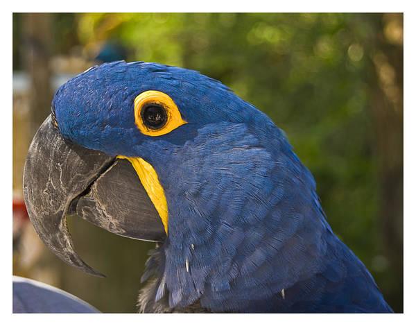 Indigo Macaw Art Print