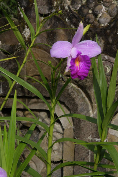 Botanic Photograph - Indonesia, Bali Orchid At Eka Karya by Emily Wilson