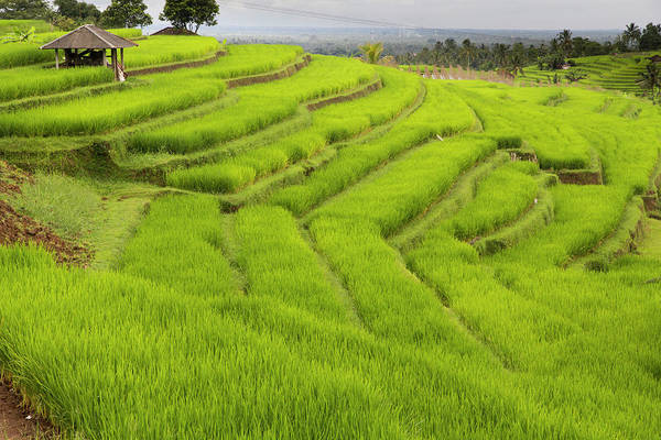 Wall Art - Photograph - Indonesia, Bali Terraced Subak by Emily Wilson