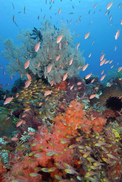Schooling Fish Wall Art - Photograph - Indonesia, Komodo National Park, Fish by Jaynes Gallery