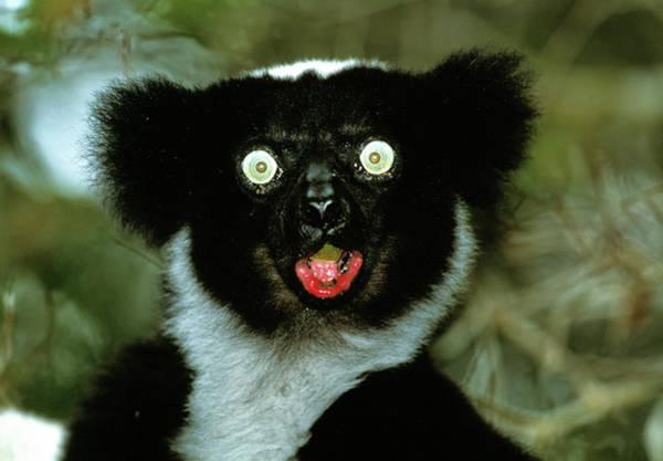 Lemur Wall Art - Photograph - Indri by Tony Camacho/science Photo Library
