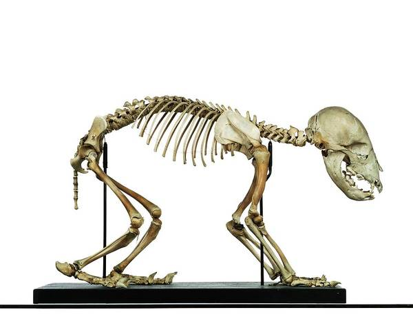 Ursidae Wall Art - Photograph - Infant Bear Skeleton by Ucl, Grant Museum Of Zoology