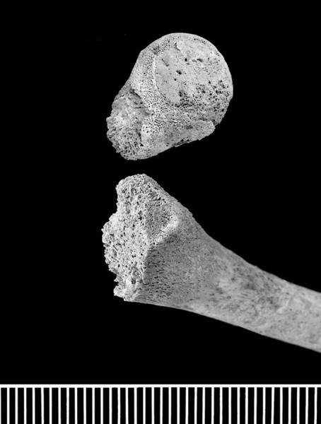 Homo Sapiens Photograph - Infant Bones From Roman Britain by Natural History Museum, London/science Photo Library