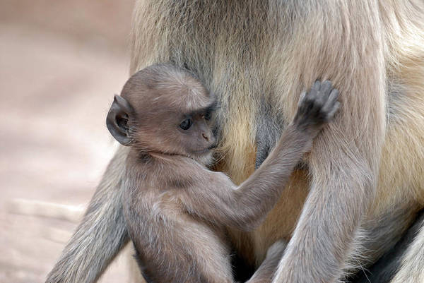 Old World Monkey Photograph - Infant Langur Monkey Suckling by Simon Fraser/science Photo Library
