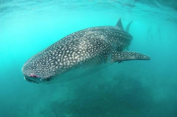 Ocean Life Photograph - Injured Whale Shark by Scubazoo