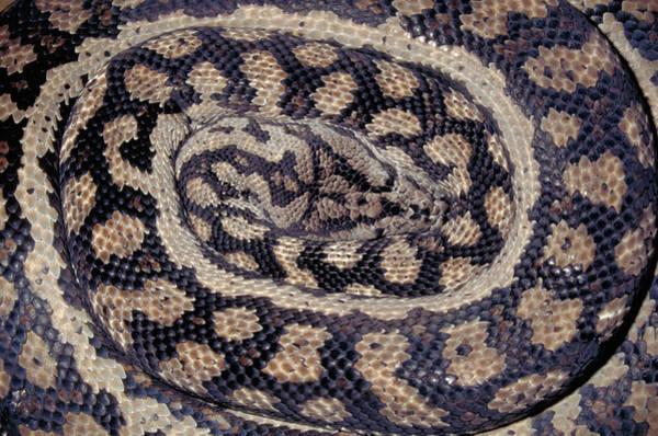 Photograph - Inland Carpet Python  by Karl H Switak