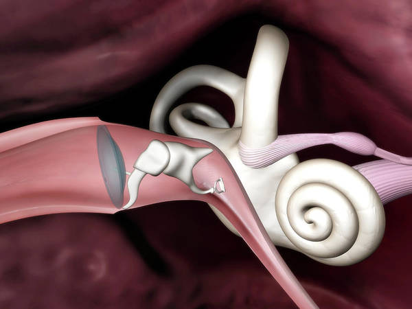 Wall Art - Photograph - Inner Ear Anatomy by Gunilla Elam/science Photo Library