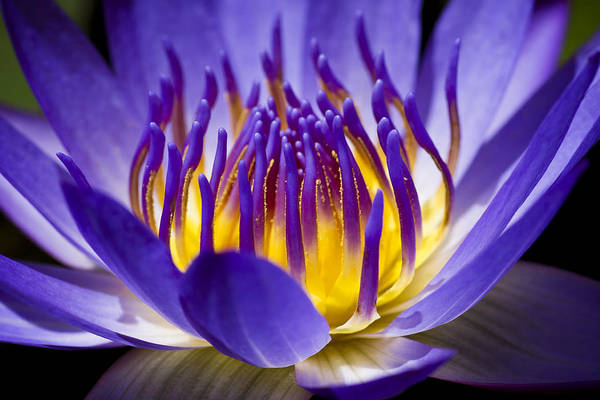Water Lillies Photograph - Inner Glow by Priya Ghose
