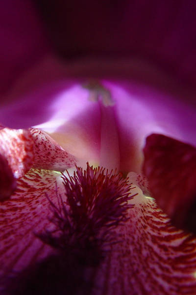 Photograph - Inner Iris_4of4_purple by Jana Russon