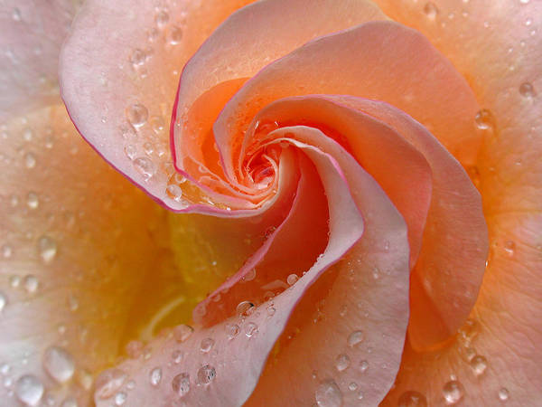 Orange Rose Photograph - Innocent Beauty by Juergen Roth