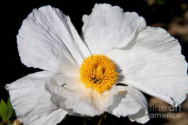 Photograph - Innocent Krinkle - White Peony By Diana Sainz by Diana Raquel Sainz