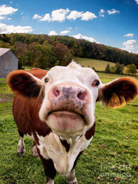 Photograph - Inquisitive Cow by Mark Miller