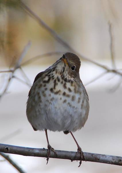 Photograph - Inquisitive Hermit Thrush by Cascade Colors