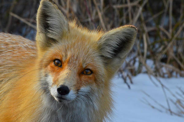 Photograph - Inquisitive Red Fox by Beth Sawickie