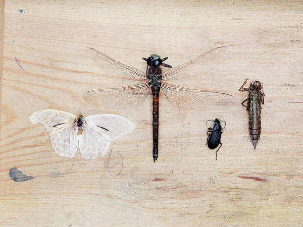 Insect Photograph - Insect Collection On Wooden Background by Johner Images