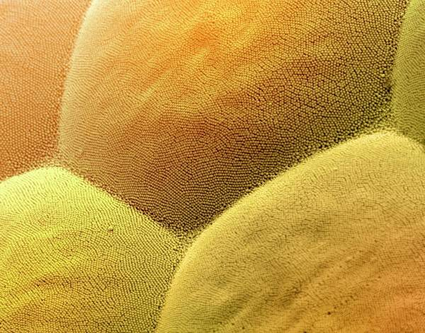 Compound Eyes Photograph - Insect Compound Eye Lenses by Ami Images